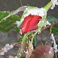 Frozen Rosebud by Neena Plant
