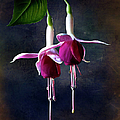 Fuchsia by Endre Balogh