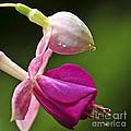 Fuchsia Flower by Elena Elisseeva