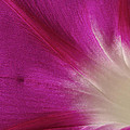 Fuchsia Morning Glory by Phyllis Denton