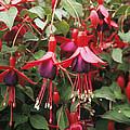 Fuchsia 'mrs Popple' by Adrian T Sumner
