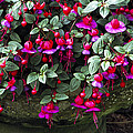 Fuchsia 'swanley Gem' by Archie Young