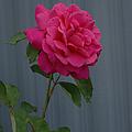 Full Bloom by Ernie Echols