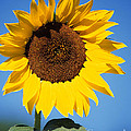 Full Sunflower by Sharon Elliott