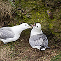 Fulmar Pair Bonding by Howard Kennedy