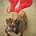 Funny Boxer Puppy by Jody Trappe Photography