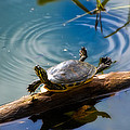 Funny Turtle Catching Some Rays by Rich Leighton