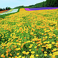 Furano Lavender by Frank Chen