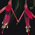 Fuschia Flowers Atlantic Forest by Mark Moffett