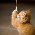 Fuzzy Baby Kitten Playing And Pulling On A Cord by Carl M Christensen in Minnesota