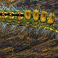 Fuzzy Caterpillar by Shannon Harrington