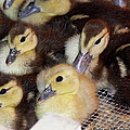 Fuzzy Ducklings by Ericamaxine Price