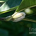 Fuzzy Magnolia by Susan Herber