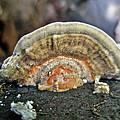 Fuzzy Turkey Tail Shelf Fungus - Trametes Ochracea by Mother Nature