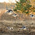 Gadwall Ducks on the Wheelock Prairie