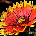 Gaillardia Flower by Susan Herber