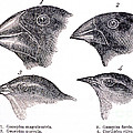 Galapagos Finches by Science Source