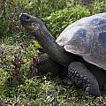 Galapagos Tortoise Inching Along by Sally Weigand