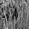 Gallinule In The Grass by Jacob Klaus