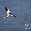 Gannet In Flight by Ted Kinsman