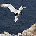 Gannet Landing by Howard Kennedy