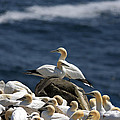Gannets Gannets Everywhere by Gord Patterson