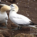 Gannets Showing Mutual Preening Behavior by Ted Kinsman