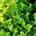 Garden Fresh Salad Bowl Lettuce by Angela Rath
