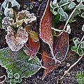 Garden Frost by Ellen Miffitt