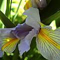 Garden Iris by Janice Robertson