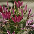 Garden Stinkweed Flower 1 by Douglas Barnett