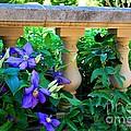Garden Wall With Periwinkle Flowers by Nancy Mueller