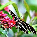Garden Zebra Longwing by Bill Dodsworth