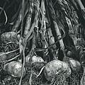 Garlic Bulbs by Alan Sirulnikoff