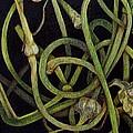 Garlic Heads by Cynthia Adams