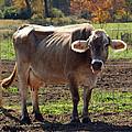 Gasping Cow by LeeAnn McLaneGoetz McLaneGoetzStudioLLCcom