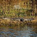 Gator Break by Cindy Tiefenbrunn