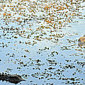 Gator Standoff by Teresa Blanton