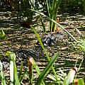 Gator Sunning by Christine Stonebridge