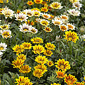 Gazania Gazania Rigens Flowers by VisionsPictures