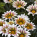 Gazania Gazania Sp Big Kiss White Flame by VisionsPictures
