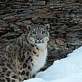 Gaze Of The Snow Leopard by Sandra Bronstein