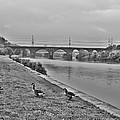 Geese Along The Schuylkill River by Bill Cannon