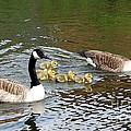 Geese And Goslings by John Chatterley