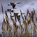 Geese Coming In For A Landing by Randall Nyhof