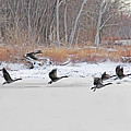 Geese Take Flight Over The Maumee River by Jack Schultz