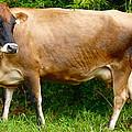 Gentle Cow by Bryn Berg