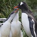 Gentoo Penguin Parent And Two Chicks by Suzi Eszterhas