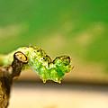 Geometrid Larvae 2 by Douglas Barnett