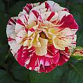 George Burns Rose by Andrea Drake